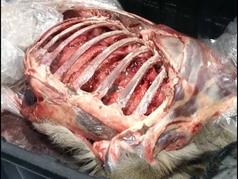 Deer Hunting Shot Placement See A Whitetail Deers Heart Lungs And