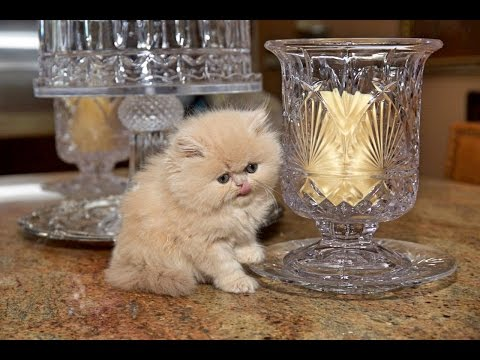 Doll Faced Cream Persian Female Kitten - 12 Weeks Old