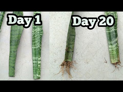 Propagate Snake plant / Mother in law's tounge from single leaf || How To grow snake plant