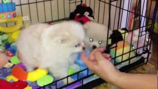Omg Cutest Puppies Ever - Teacup Pomeranian Los Angeles