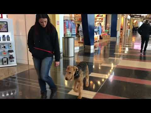 1.5 Year Old Airedale Terrier, George | Airedale Terrier Dog Training | Off Leash K9 Training