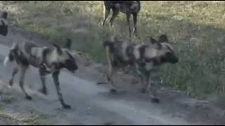 Dzikie psy / Likaony / - świat zwierząt Afryki ,, Safari