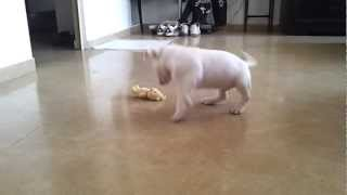 Miniature Bull Terrier Vs Care Bear - Horrific Fight To The Death Hd