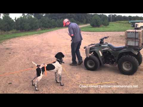 Hunting Dog Training - Developing Steady to Release - Step 4