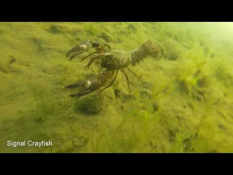 DIVING #1 - Whats Under Lake Whatcom Bellingham Washington?