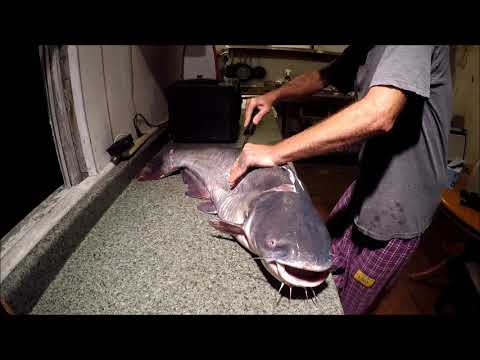 22 LB Blue Catfish Catch, Clean, And Cook