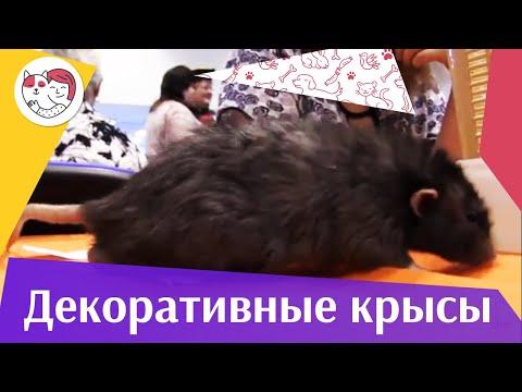 Декоративные крысы Уход и содержание на ilikepet
