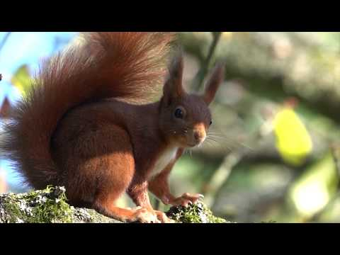 Repeat Squirrel  Eichhörnchen  4k Video  SONY RX10 IV by