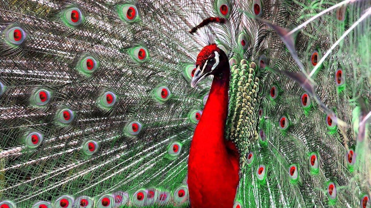 Beautiful Peacock Hd1080p Youtube