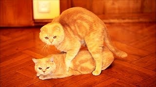 Cats mating. Emil & the same color female Cat Monica