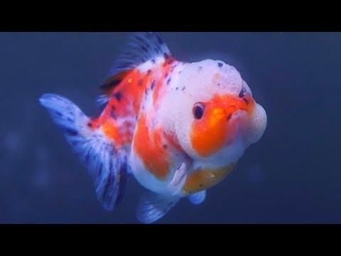 Goldfish Scales Falling Off/ Peeling Off