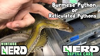 Burmese Python or Reticulated Pythons PT 6