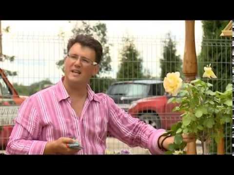 Вопрос: Какие преимущества обычной розы перед розой с прививкой?