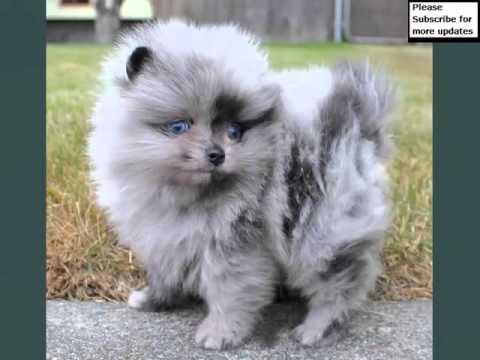 Pomeranian Dogs Lovely Pics Of Dog Breed Pomeranian Dogs Youtube