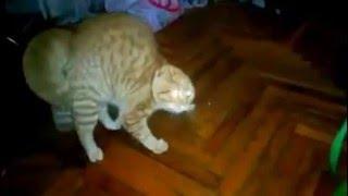 кот бегает от ананаса