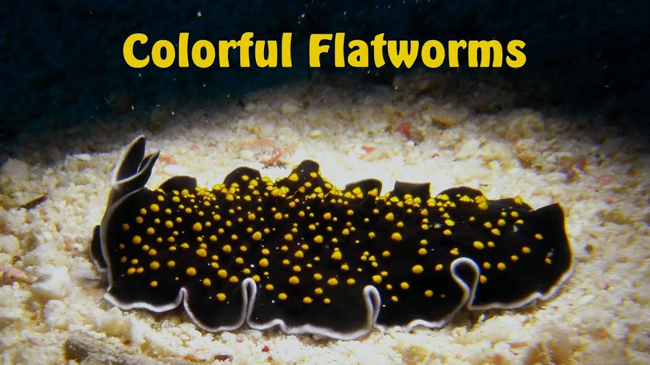 platyhelminthes flatworm