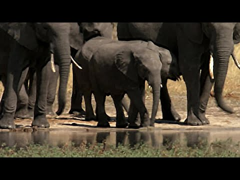 Baby Elephant meets Elephant Clans | The Long Walk Home | BBC Earth