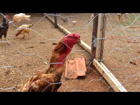 construção-do-galinheiro