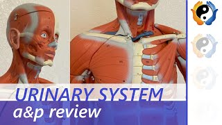 Urinary system review