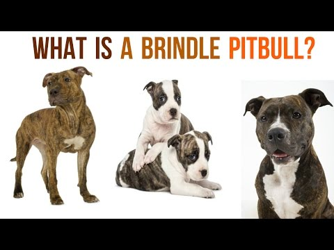 Introducing The Underrated Brindle Pitbull???