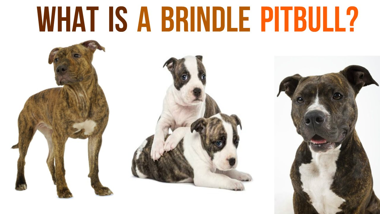 Image result for brindle pitbull's