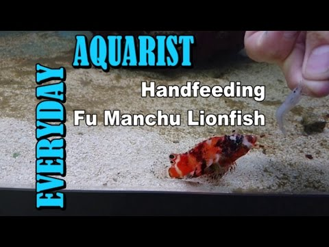 Hand Feeding Fu Manchu Lion Fish Frozen Shrimps