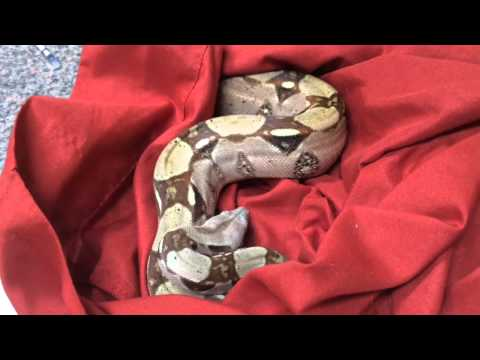 Two snakes presented for anorexia and vomiting following a boil water notice