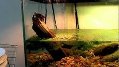 First aquarium setup for hatchling Midland painted turtle
