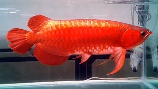 Super red Arowana collection Most amazing fish collection I've ever seen