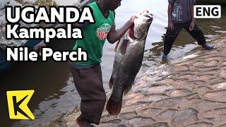 【K】Uganda Travel-Kampala[Uganda 여행-캄팔라]빅토리아 호수의 괴물 담수 농어, 나일 퍼치/Nile perch/Lake Victoria/Fish(KBS 걸어서 세계속으로 PD들이 직접 만든 해외여행전문 유투브 채널 【Everywhere, K】 □ The Travels of Nearly Everywhere! 10000 of HD world travel video clips., 2015-06-18T08:37:18.000Z)