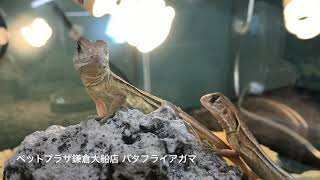 ペットプラザ鎌倉大船店 バタフライアガマ