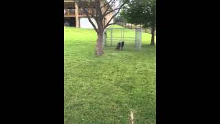 German Shorthaired Pointer Jumping 6' Fence