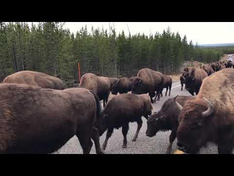 Yellowstone Bison Jam 09302018