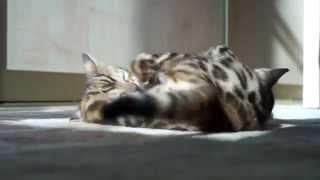 купить бенгальского котенка в Москве http://abengal.ru/