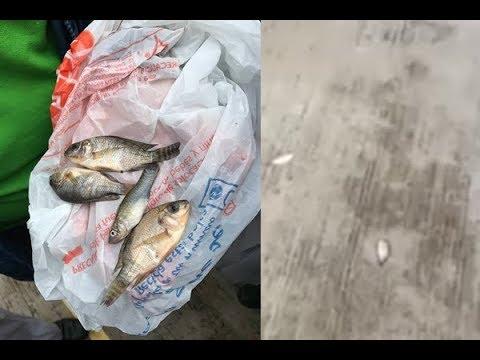 ¿Lluvia de peces en Tampico, México? (Explicación) 2017