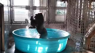 Bob Hagh. @BobHagh #twitter #funny #vines # monkey #dancing #bathing