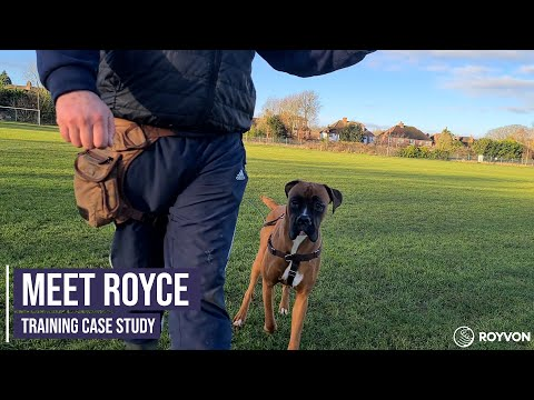 Obedience, recall and focus training for a young Boxer