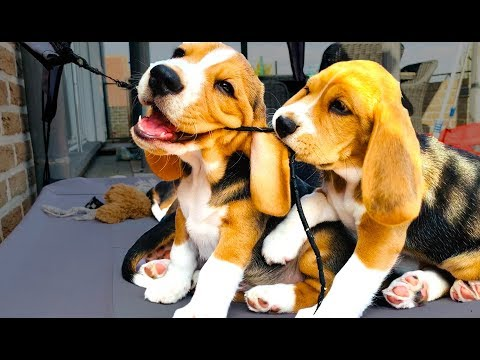 BEAGLE PUPPIES!!!!  From 1 To 8 Weeks. CUTIES!!!