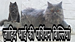 Persian Cats Of Zahid Bhai Indore
