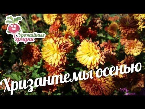 Хризантемы осенью: как приготовить цветы к зиме? #urozhainye_gryadki