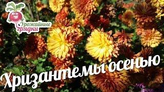 видео Посадка хризантем весной.wmv