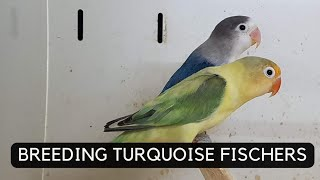 Video Turquoise pied euwing fischers lovebirds download MP3, 3GP, MP4, WEBM, AVI, FLV Juni 2018
