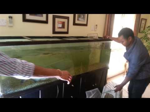 The IRIDESCENT SHARK (pangasius Catfish) Transferring For Maintenance Aquarium.