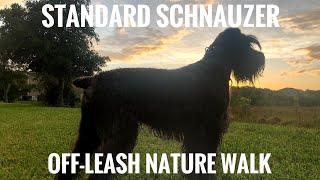 Standard Schnauzer OffLeash Nature Walk