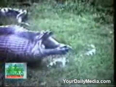 蟒蛇吞河馬 消化不良又吐出 Snake Regurgitates A Whole Hippo