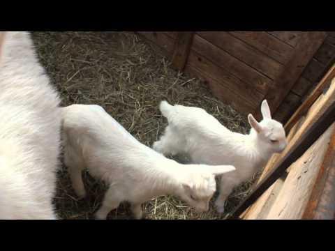 Зааненские козы в Лобне