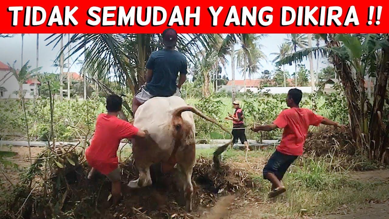 Download PROSES MELATIH SAPI TUNGGANG   NGERI NGERI SEDAP