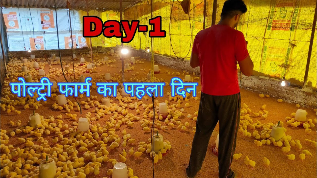 Download Day-1,opening of chicks in my poultry farm, Poultry Farming