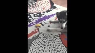 Angry Husky Dog And Mango Seed