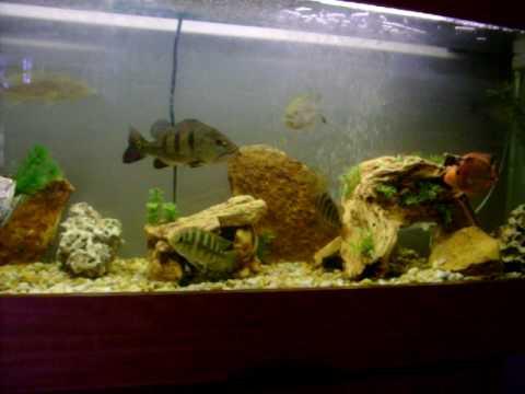 Peacock largemouth bass in my 60g aquarium fish tank for First fish tank
